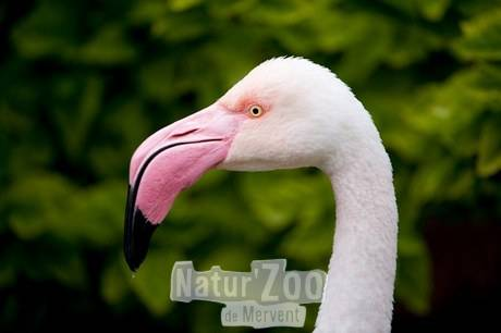 A greater flamingo (Phoenicopterus roseus) at the San Antonio Zoo, San Antonio, Texas. (Image ID: BIR033-00465)